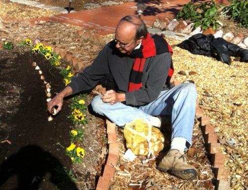 Planting tulip bulbs in December