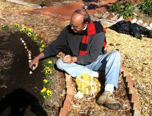 Planting tulip bulbs in December