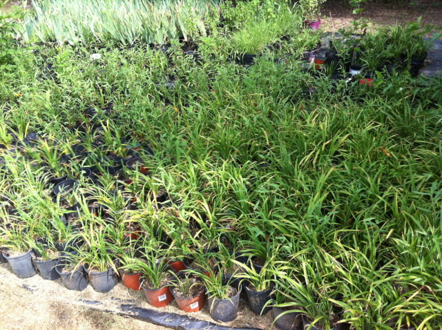 day lily and iris plants cleaned and ready to plant in the garden