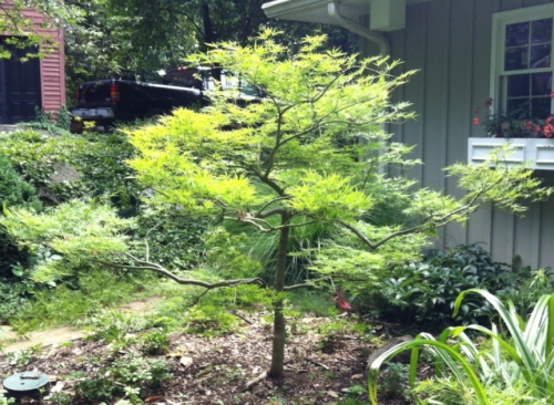 A well pruned Japanese maple