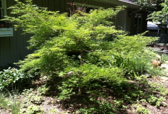 Japanese maple needs shape and definition.  Time to prune