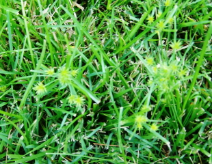 how to get rid of ground cover without killing grass