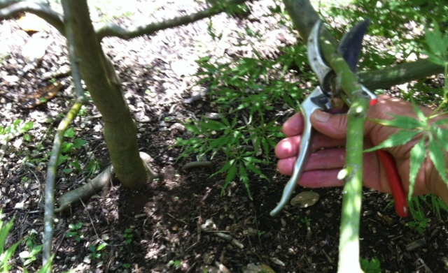 Removing limbs to open up the canopy of the Japanese maple and to accentuate the trunk