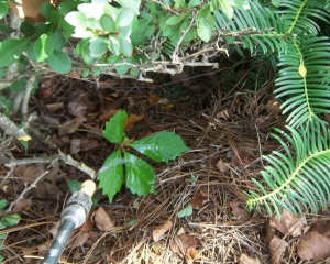 Kill Virginia creeper with Roundup