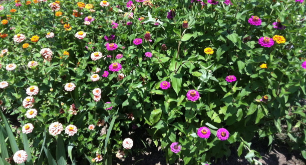 A bed of seed-planted zinnias in August