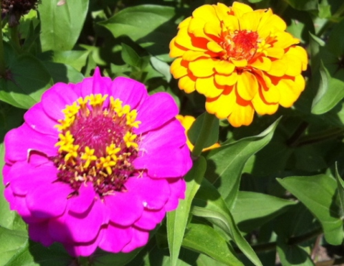 Growing zinnias gives cut flowers in many vibrant colors