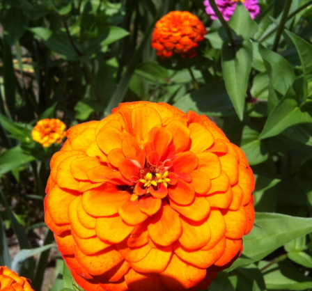 "Zinnias for ""Whatever The Lady Desires"""