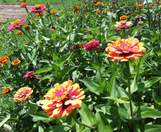 Some zinnia varieties have long stems which are ideal for cut flower arrangements