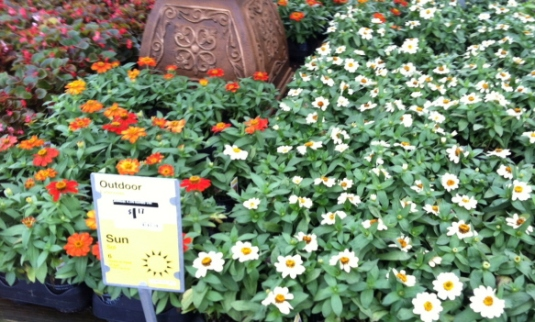 four-inch pots of zinnias at Home Depot