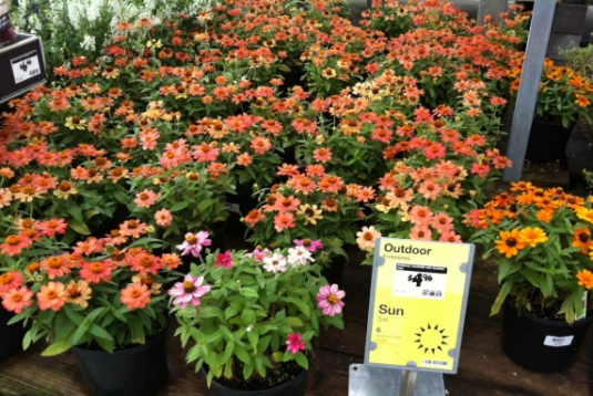 Larger pots of zinnias at Home Depot