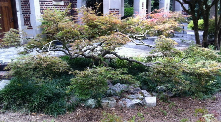 dissectum japanese maple after pruning