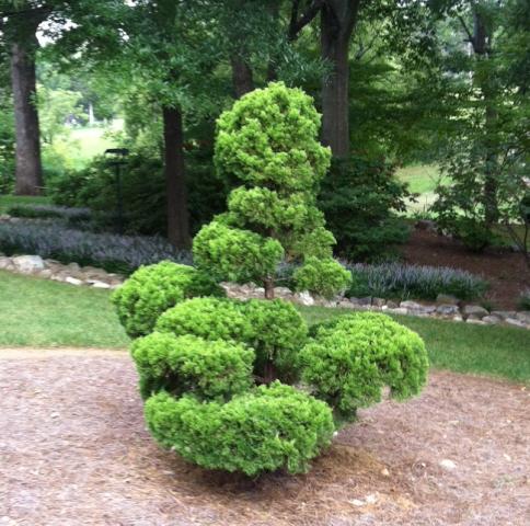 "Hollywood Juniper or ""torulosa"" juniper pruned to topiary."