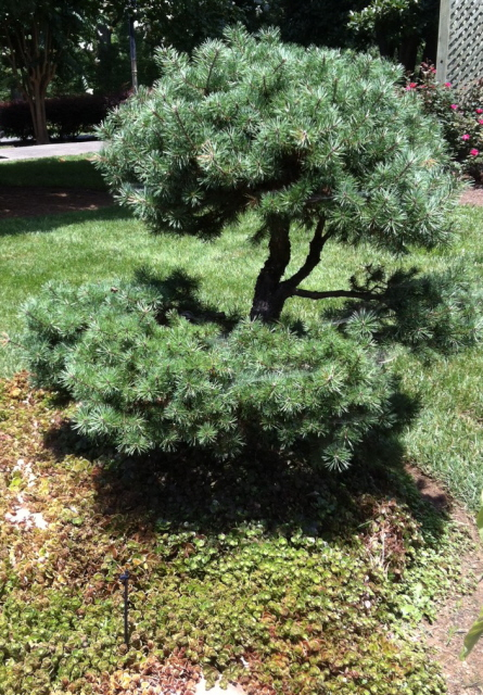 Japanese pine ornamental topiary with sedum ground cover