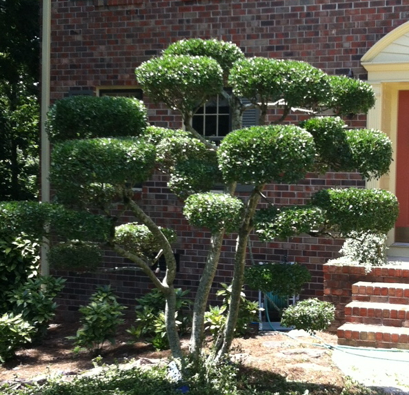 A tree yaupon pruned into a topiary form.  Anyone want to go visit Whoville?