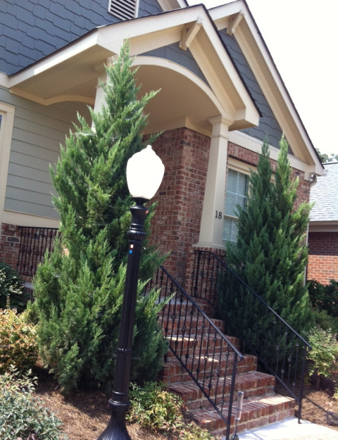 Overgrown junipers at the front entrance need tending to. (blue point juniper)