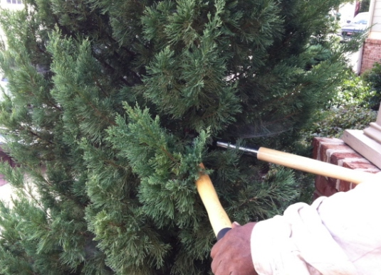 Start the topiary project  by cutting the top of the tree to the desired height.