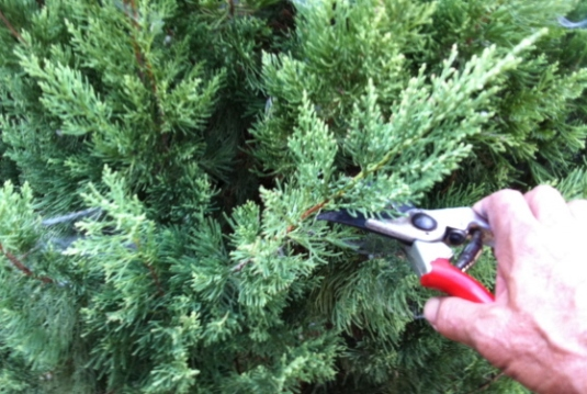 Trim the tree to basic shape with hand pruners