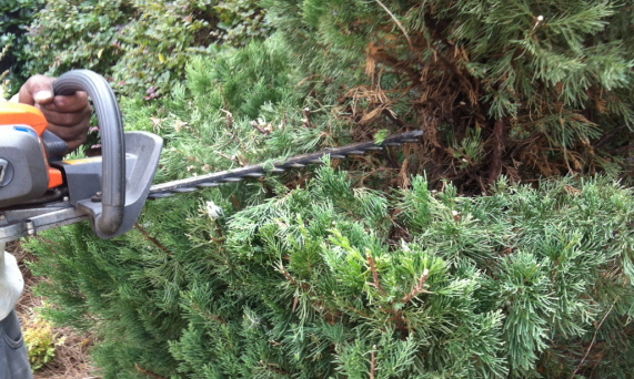 polishing the topiary with motorized hedge trimmers.