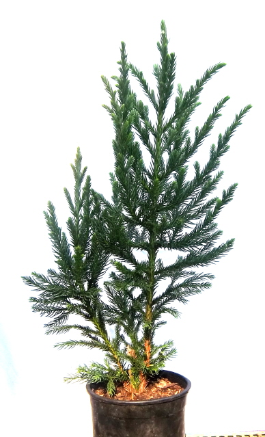 Cryptomeria 'Black Prince' ready to be started as a topiary
