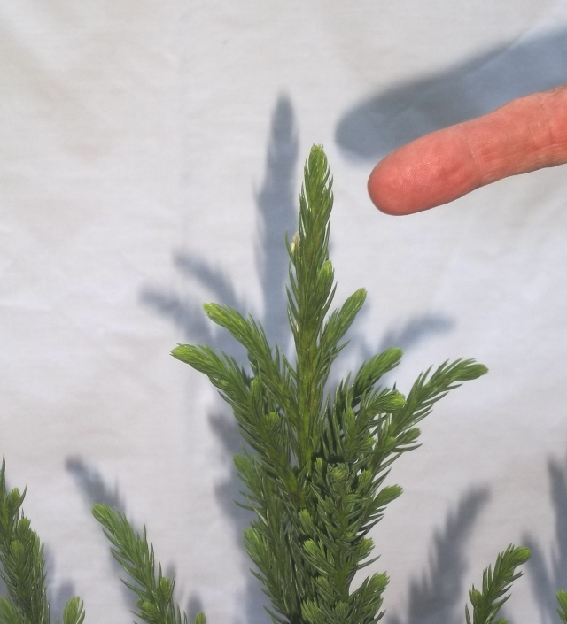 The apical bud on the cryptomeria will be allowed to grow taller