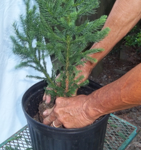 re potting the tree into a three gallon pot for growing on.