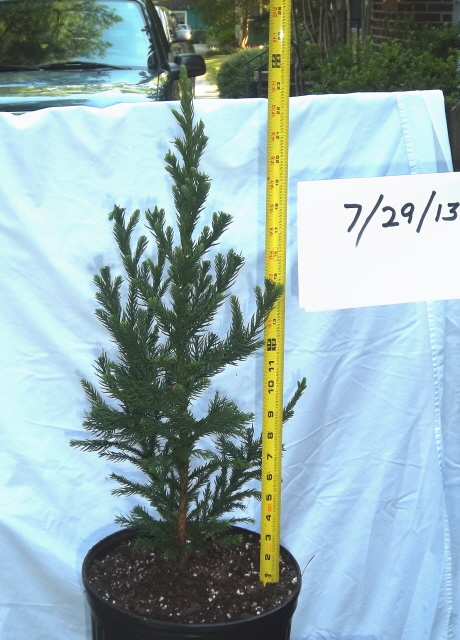 Cryptomeria 'Black Prince' topiary started 7/24/13. Approximate height from top of root ball 2 feet.