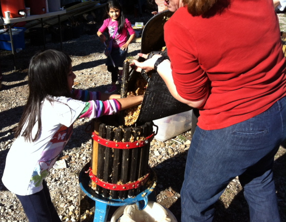 putting the chopped up apples into the cider press