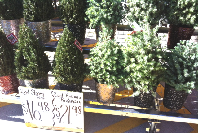 Well grown plants with a Christmas tree shape on sale for the season