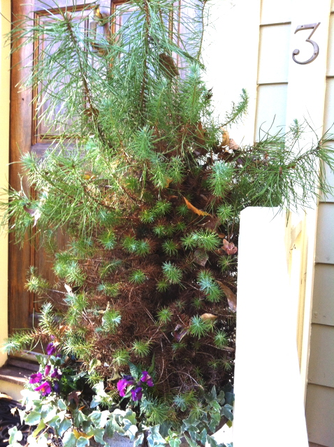 After a year the stone pine had lost it's Christmas tree shape and had grown out of bounds