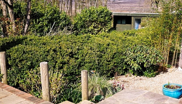 Jake Hobson--before pruning over grown boxwood