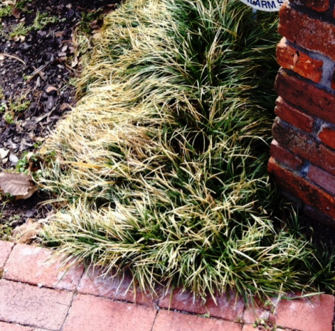 mondo grass (ophiopogon) winter growth unpruned