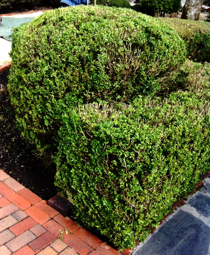 "Recently pruned boxwood showing ""holes"" to provide light for the inside growth"