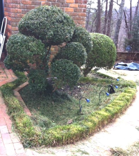 Boxwood topiary with mondo grass border pruned around the first of February