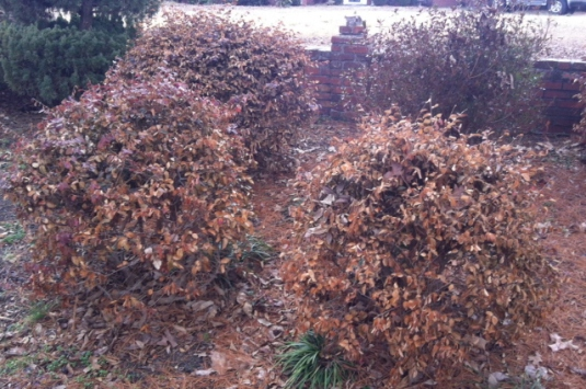 Freeze damage on loropetalums. We need to cut them back so the light can shine in.