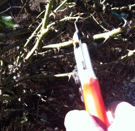 Pruning the knockout rose. Be careful of the thorns!