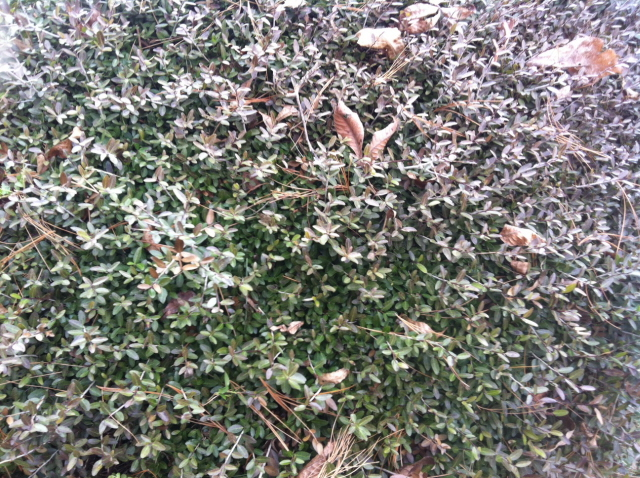 Normally neatly kept yaupon holly needs attention in February