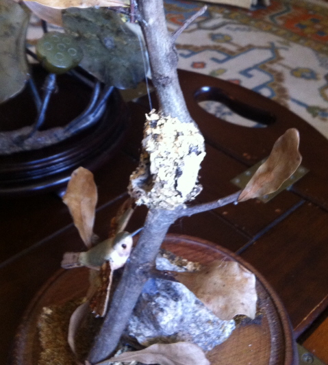"""view 2 of the hummingbird nest. """"They use spider webs and moss in the construction"""" She said."""