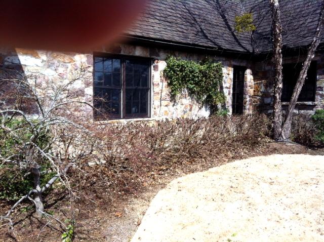 loropetalums after pruning off winter damage