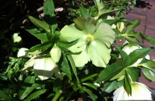 Lenten rose (or 'hellebore')--a true harbinger of spring