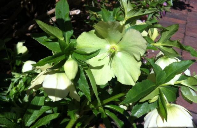 Lenten rose (or 'hellebore')--a true harbinger of spring
