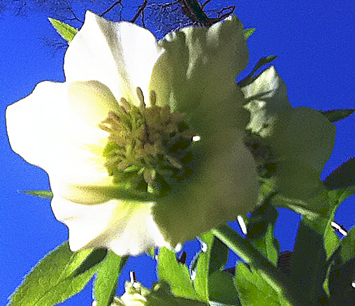 Looking up at the Lenten rose flower with the sky blue background