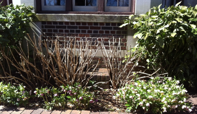 planting of Lenten rose, hydrangea, and acuba. A good mix for shady places