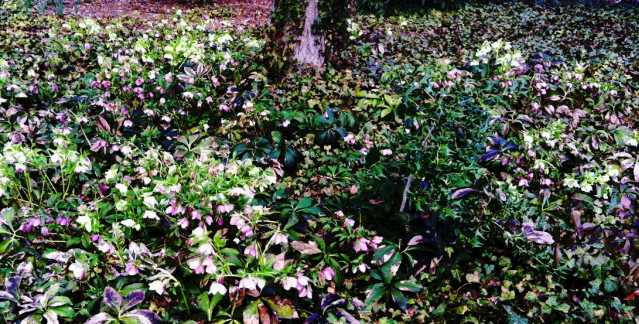 Lenten rose naturalized in the middle of an ivy bed under a maple tree.