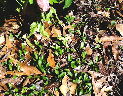 lenten rose seedlings appear a year or so after the momma plant is installed.
