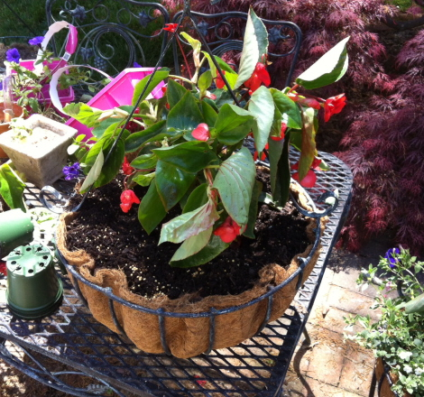 A dragon wing begonia will be beautiful in the center of this hanging basket