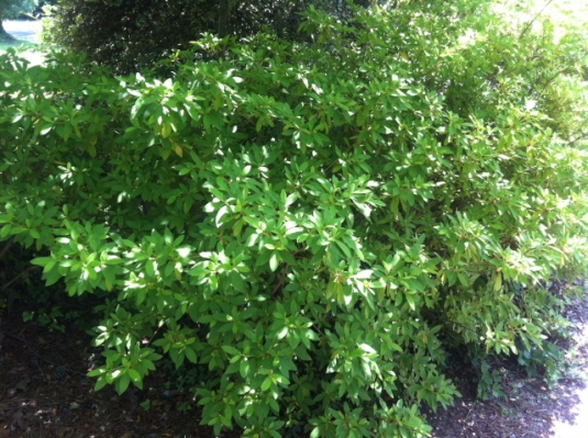Azaleas at driveway need  pruning