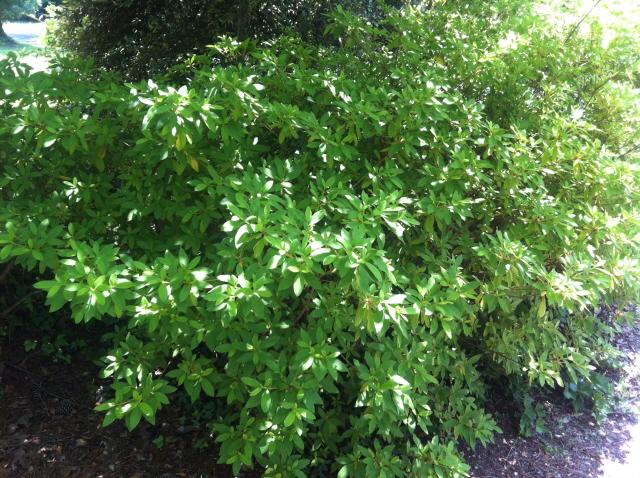 Azaleas at driveway need  pruning