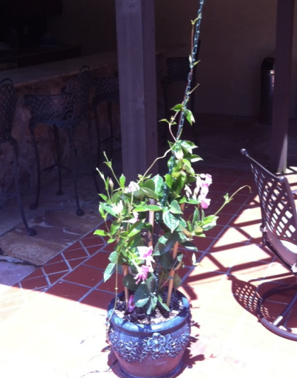 Mandevilla in a decorative pot ready to grow up a chain