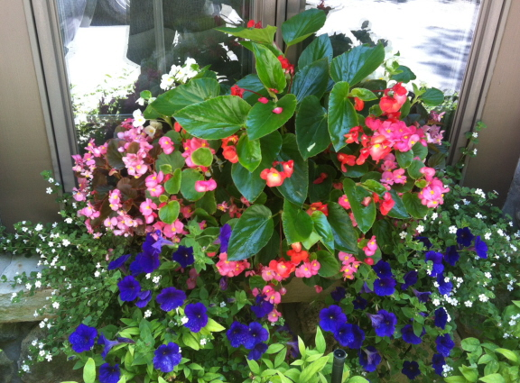begonias and bacopa in a window box