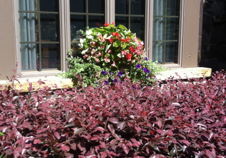Window box with begonias and petunias. Loropetalum at base